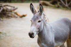 Ståenden den head närbilden av en lös grå åsna med vita band äter på zoo fotografering för bildbyråer