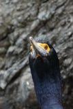 Ståenden Röd-vände mot kormoran (den urile phalacrocoraxen) Arkivfoto