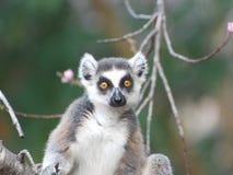 Ståenden Ring Tailed Lemur ser direkt i linsen - Madagascar Arkivfoto