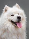 Ståendeoflhund - Samoyed Arkivfoton