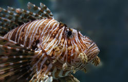 Ståendesikt av en gemensam lionfish Royaltyfri Foto