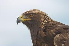 Ståendesikt av en guld- Eagle Fotografering för Bildbyråer