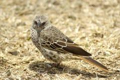 ståendesparrow Royaltyfria Bilder