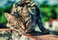 Ståendestrimmig kattkatt med intensiv stirrande Arkivbild