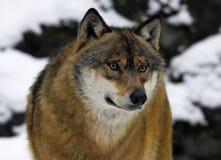 ståendevinterwolf royaltyfria bilder