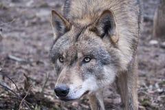 ståendewolf Arkivbilder