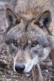 ståendewolf Royaltyfri Foto