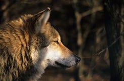ståendewolf Royaltyfria Bilder