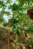 Stålar-frukt på trädet Arkivbild