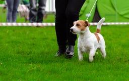 Stålar russel som är mer terier på hundshow arkivbild