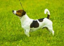 stålar russell Jack Russell Terrier som spelar utvändiga leenden Royaltyfri Bild