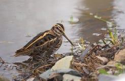 Stålarbeckasin eller den Lymnocryptes minimusen är en utvandrande waterbird arkivfoton