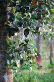 Stålarfruktträd Royaltyfri Fotografi