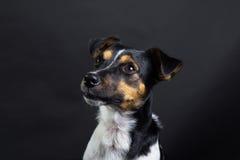 stålarrussel terrier Arkivfoto