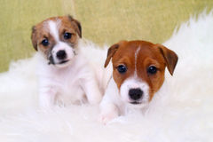 Stålarrussell för två valp terrier Royaltyfri Foto