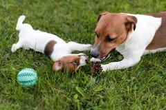 Stålarrussell hundkapplöpning som spelar på gräsäng Valpen och vuxna människan dog yttersidan i parkera, sommar royaltyfri fotografi
