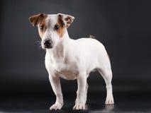 stålarrussell terrier Royaltyfri Foto