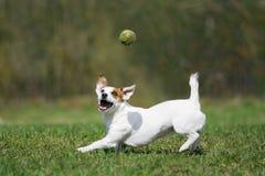 stålarrussell terrier Royaltyfri Bild