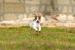 StålarRussell Terrier Arkivbild