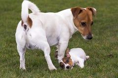 stålarrussell terrier Arkivfoto