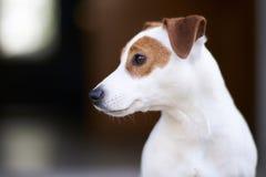stålarrussell terrier Royaltyfria Foton