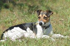 Stålarrussell terrier, satkäring av denbrunt salvan royaltyfria foton