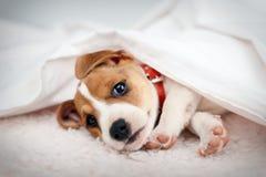 stålarvalprussel terrier fotografering för bildbyråer