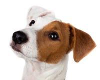 stålarvalprussell terrier fotografering för bildbyråer
