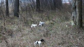 stålarvalprussell terrier Spela för valp Valpar och vuxen hund arkivfilmer