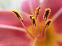 Ståndare av rosa färger Royaltyfri Bild