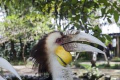 Stång-pouched virvlad manlig fågelstående för hornbill arkivbild