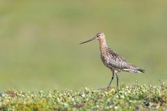 Stång-tailed Godwit royaltyfri foto