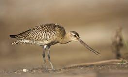 Stång-tailed Godwit arkivfoton