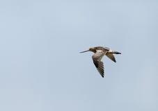 Stång-tailed godwit i himlen Fotografering för Bildbyråer