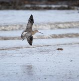 Stång Tailed Godwitlandning arkivfoto