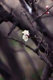 Står blommande blommor för vår ut på en filial Dramatisk backgrou Arkivbild