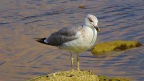 Står den enorma härliga seagullen för närbilden på stenen nära kust och blickar omkring arkivfilmer