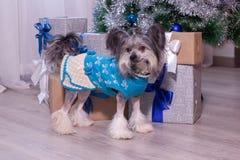 Står den gullig kines krönade hunden nära julträdet med gåvor Älsklings- djur arkivfoto