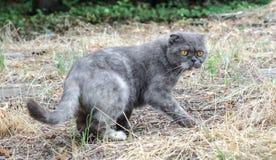 Står det skotska vecket för den gråa katten i de torra grasna royaltyfria foton