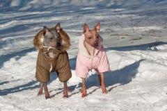 Står gullig amerikansk hårlös terrier två i härlig overall på en vit snö Älsklings- djur Royaltyfria Foton