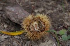 Stérile ouvert de fleur de châtaigne Photo libre de droits