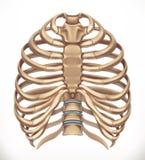 Stödbur Mänskligt skelett, medicin vektor 3d stock illustrationer