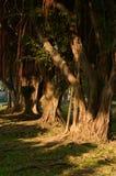 Stödet rotar av den Moreton fjärdfikonträdet Royaltyfri Bild