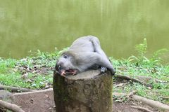 Stöna apan i Puncak, Indonesien Arkivbild