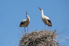 Störche auf dem Nest Stockfotos