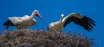 Störche auf dem Nest Lizenzfreies Stockbild