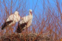 Störche auf ihrem Nest Lizenzfreies Stockbild
