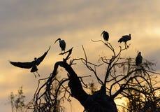 Störche bei Sonnenuntergang Lizenzfreie Stockbilder