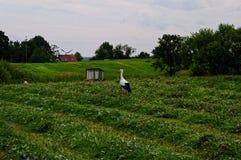 Störche in einer ländlichen Feldjagd auf Fröschen Im Hintergrundtraktor und in den ländlichen Gebäuden Schöne Landansicht Stockfoto