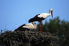 Störche im Nest Stockfoto